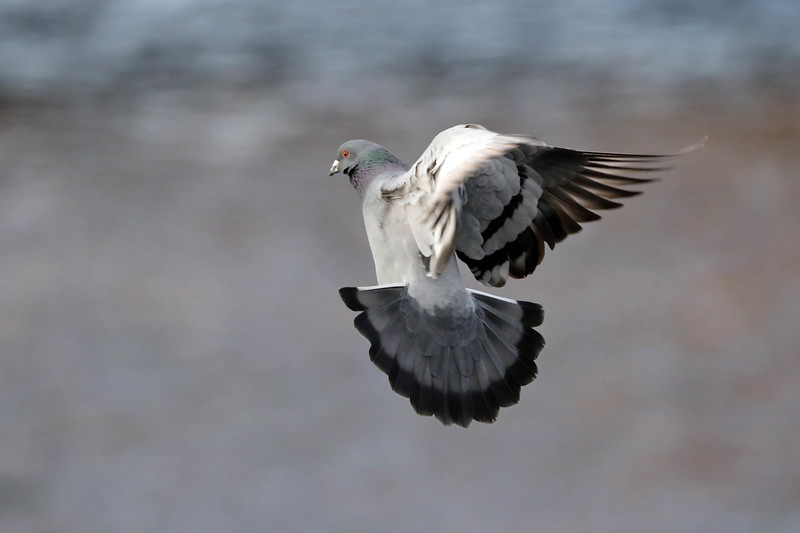 December 1 2017 - Pigeon