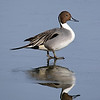 February 19 2017 - Northern Pintail