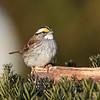 February 1 2017 - White Throated Sparrow