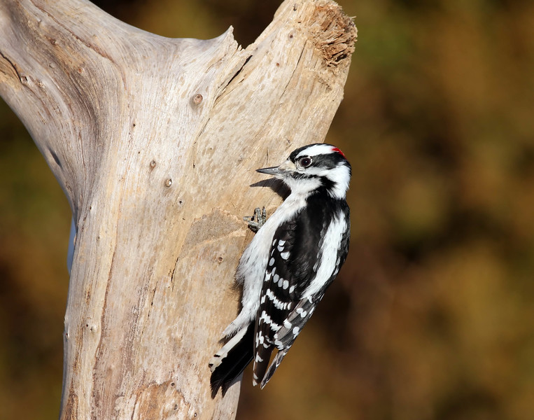 February 25 2017 - Downy Woodpecker