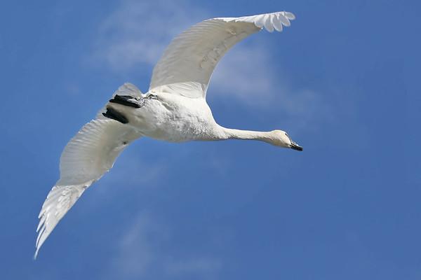February 15 2017 - Trumpeter Swan