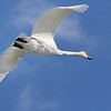 February 15 2017 - Trumpeter Swan