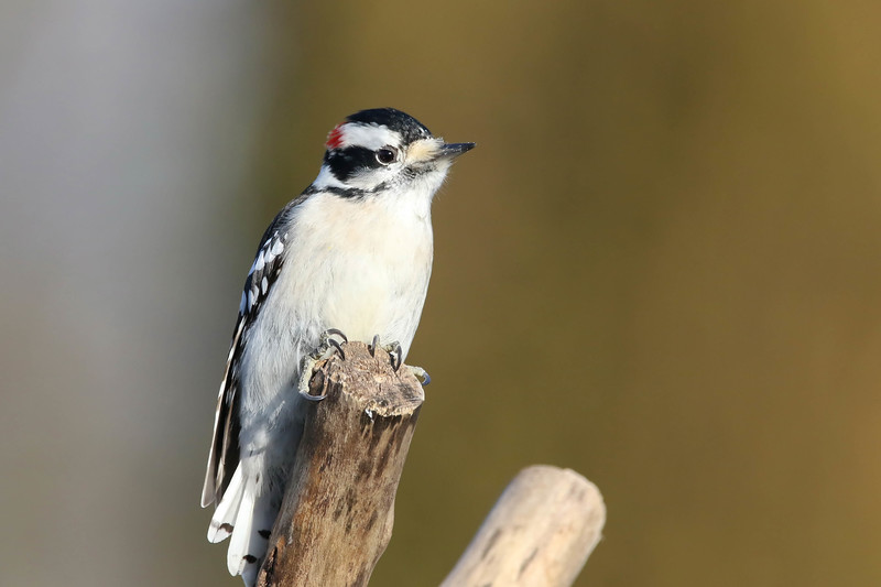 February 17 2017- Downy Woodpecker