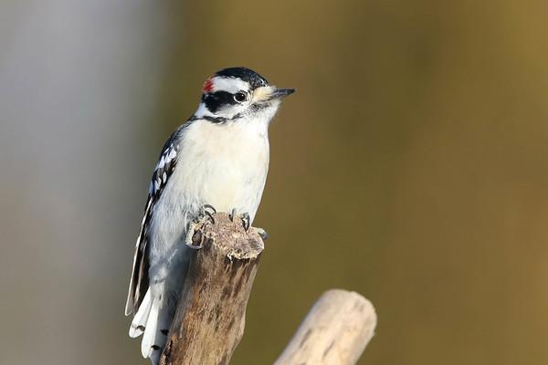 February 17 2017- Downy Woodpecker