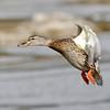 February 12 2017 - Mallard Duck
