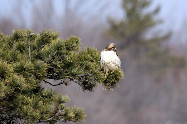 February 8 2017 - Red-tailed Hawk