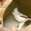 February 14 2017 - Tufted Titmouse