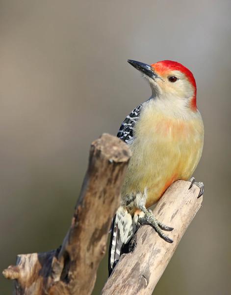 January 8 2017 - Red-Bellied Woodpecker