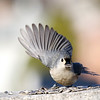january 14 2017 - Tufted Titmouse