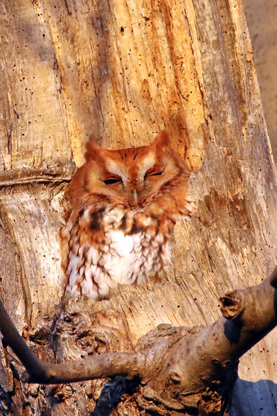 January 22 2017 - Screech Owl