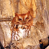 January 22 2017 - Screech Owl