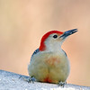 January 17 2017 - Red-Bellied Woodpecker