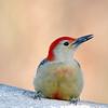 January 17 2017 - Red-Bellied Woodpecker