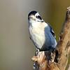 January 30 2017 - Downy Woodpecker
