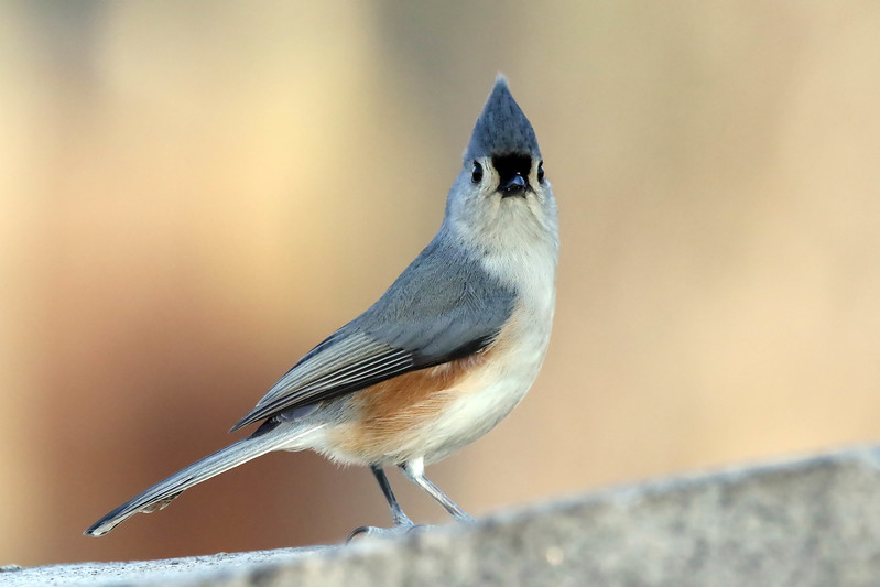 january 28 2017 - Tufted Titmouse