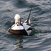 January 27 2017 - Long-tailed Duck