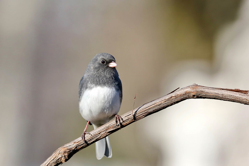 January 12 2017 - Junco