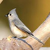 January 18 2017 - Tufted Titmouse