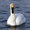 January 26 2017 - Trumpeter Swan