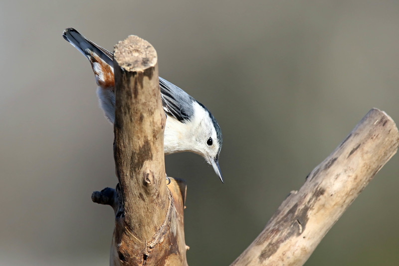 January 21 2017 - Nuthatch