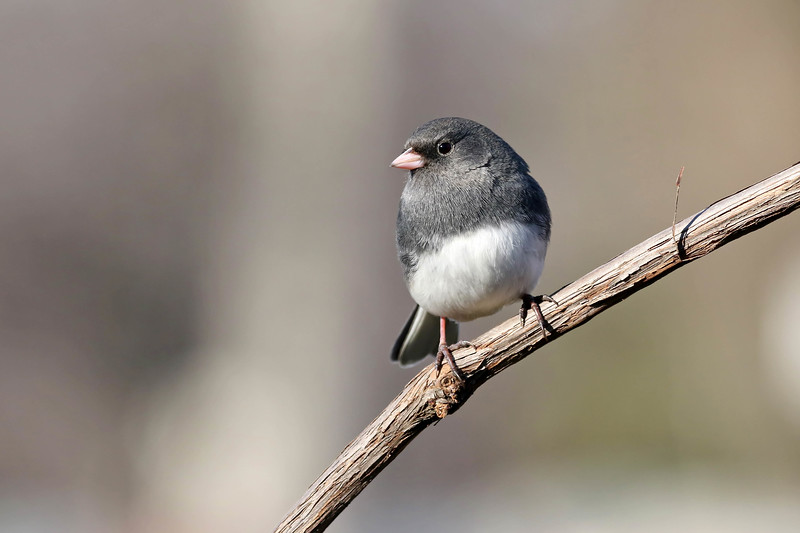 January 23 2017 - Junco