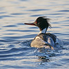 January 5 2017 - Merganser