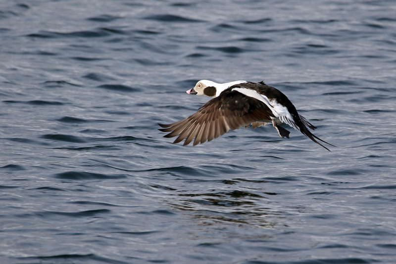 January 16 2017 - Long-tailed Duck