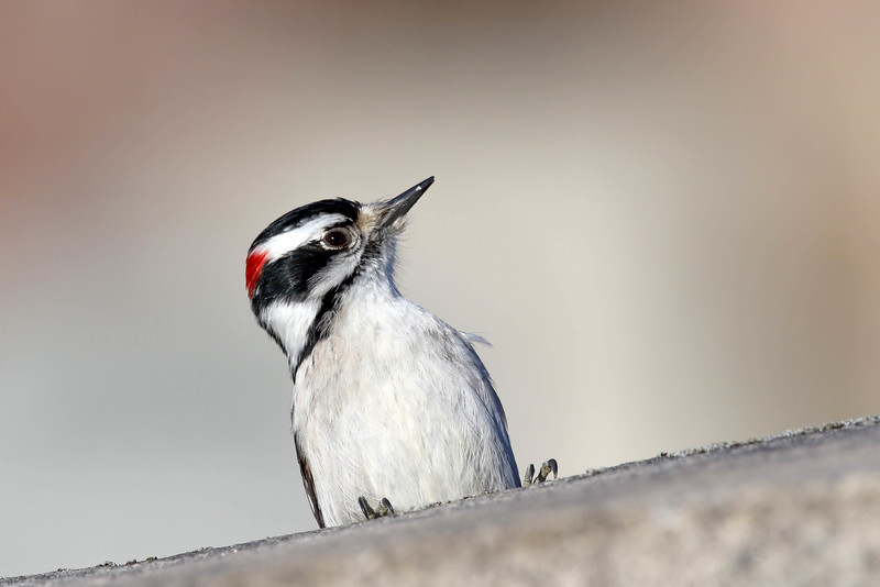 January 11 2017 - Downy Woodpecker
