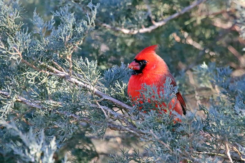 January 29 2017 - Cardinal