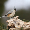 January 7 2017 - Tufted Titmouse