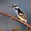 January 25 2017 - Downy Woodpecker