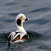 January 20 2017 - Long-tailed Duck
