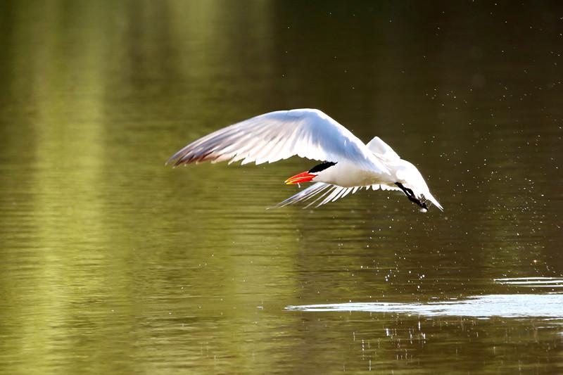 July 19 2017 - Tern