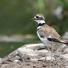 July 22 2017 - Killdeer