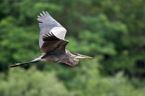 July 29 2017 - Heron