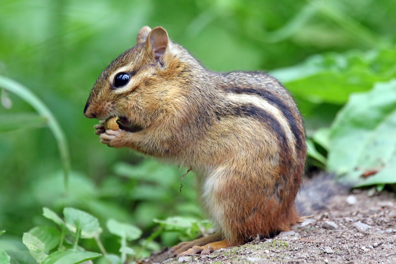 July 30 2017 - Chipmunk