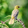 July 12 2017 - Goldfinch