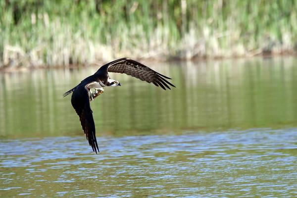 july 14 2017 - Osprey