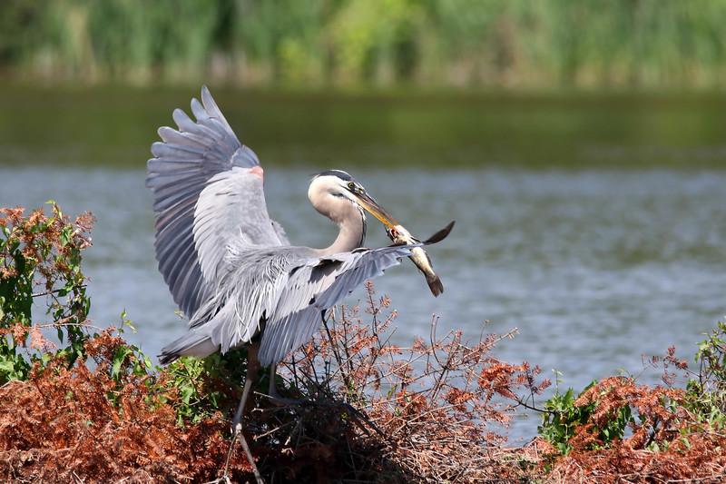 July 7 2017 - Heron with Catfish