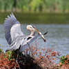 July 7 2017 - Heron with Catfish