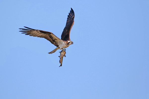 July 21 2017 - Osprey and Fish