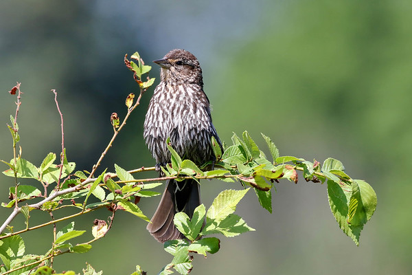 July 15 2017 - Female Red-Winged Blackbird
