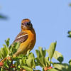 July 16 2017 - Baltimore Oriole