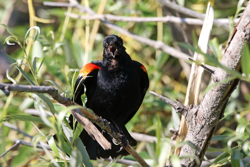 July 20 2017 - Red-Winged Blackbird