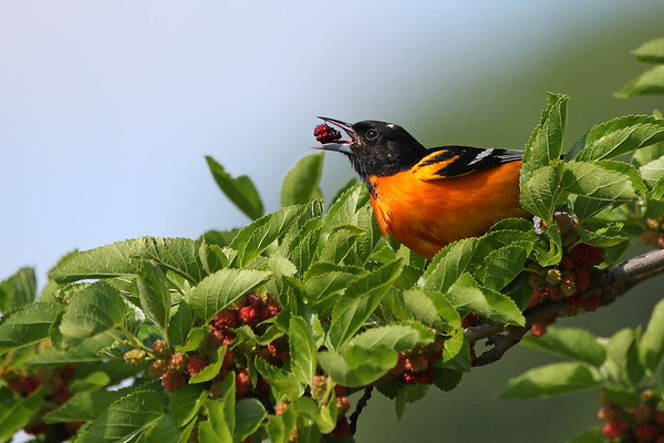 July 17 2017 - Baltimore Oriole