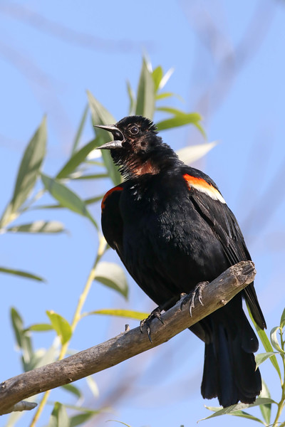 July 9 2017 - Red-Winged Blackbird