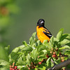June 23 2017 - Baltimore Oriole