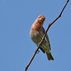 June 19 2017 - House Finch