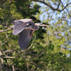 June 20 2017 - Heron