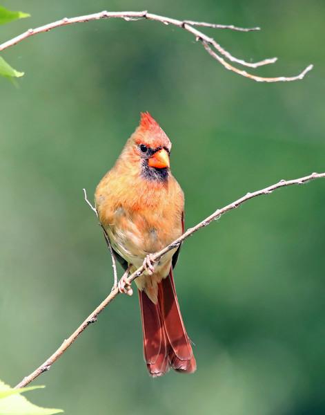 June 27 2017 - Cardinal